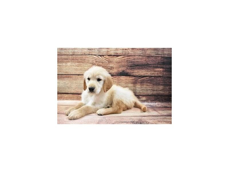Golden Retriever-DOG-Female-Golden-3036165-PetCenter Old Bridge Puppies For Sale