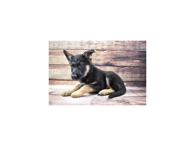 German Shepherd-Female-Black and Tan-3036189-PetCenter Old Bridge Puppies For Sale