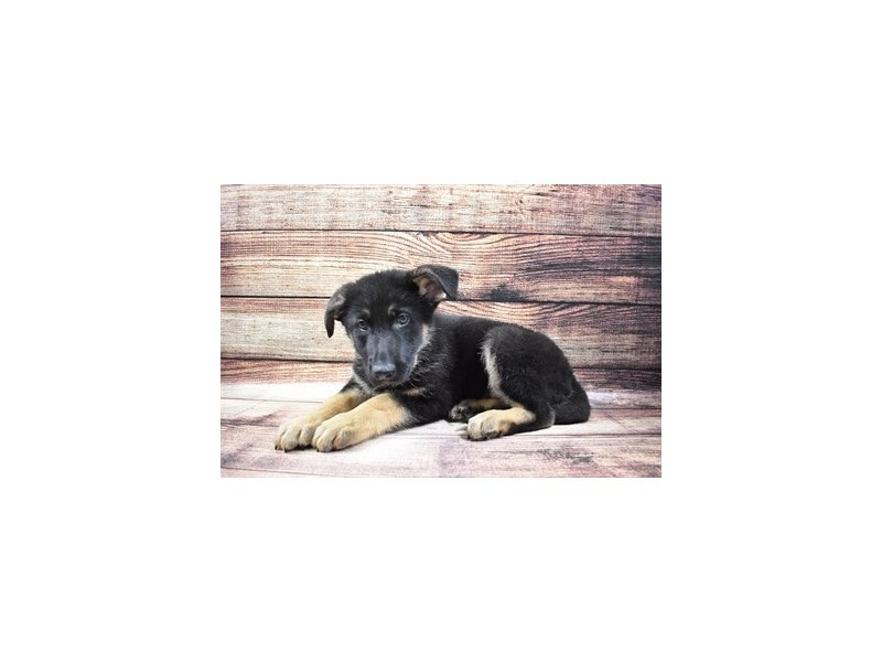German Shepherd-Male-Black and Tan-3036190-PetCenter Old Bridge Puppies For Sale