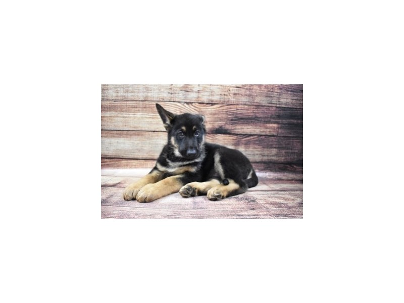 German Shepherd-Male-Black and Tan-3036191-PetCenter Old Bridge Puppies For Sale