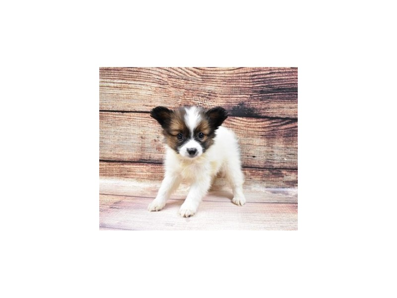 Papillon-Male-White and Red-3036245-PetCenter Old Bridge Puppies For Sale