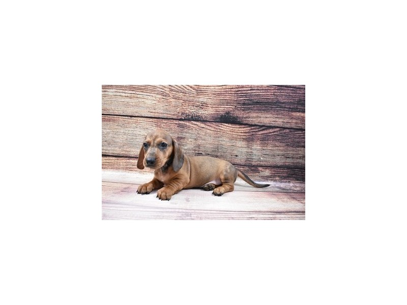 Dachshund-DOG-Male-Red-3045721-PetCenter Old Bridge Puppies For Sale