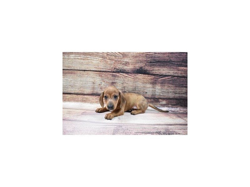Dachshund-DOG-Male-Red-3045724-PetCenter Old Bridge Puppies For Sale
