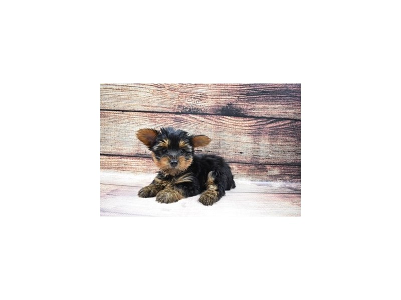 Yorkshire Terrier-DOG-Male-Black and Tan-3045748-PetCenter Old Bridge Puppies For Sale