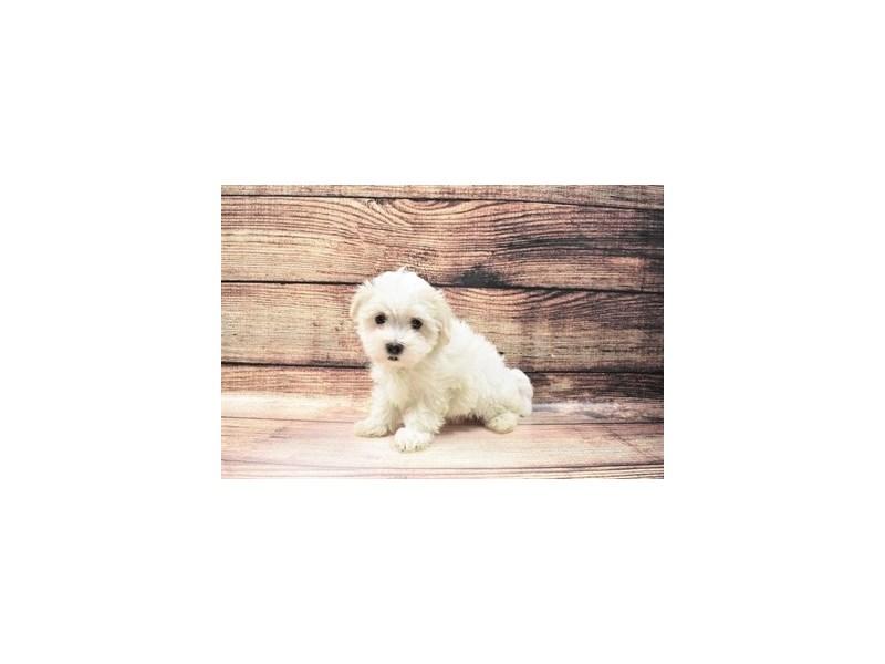 Maltese-Male-White-3045767-PetCenter Old Bridge Puppies For Sale