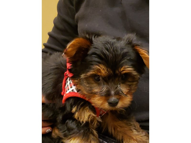 Yorkshire Terrier-DOG-Male-Black and Tan-3045747-PetCenter Old Bridge Puppies For Sale