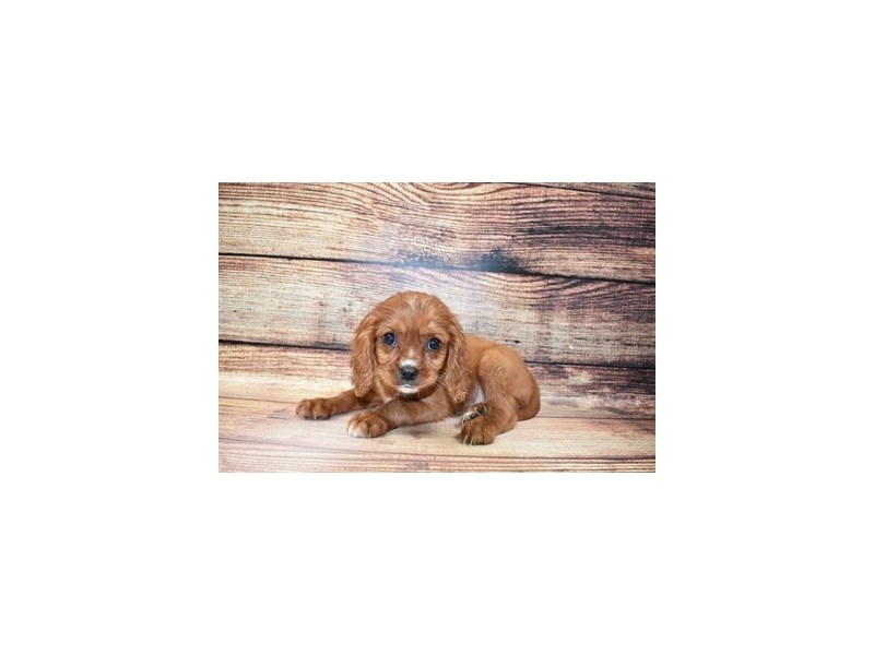 Cavalier King Charles Spaniel-Male-Ruby-3056655-PetCenter Old Bridge Puppies For Sale