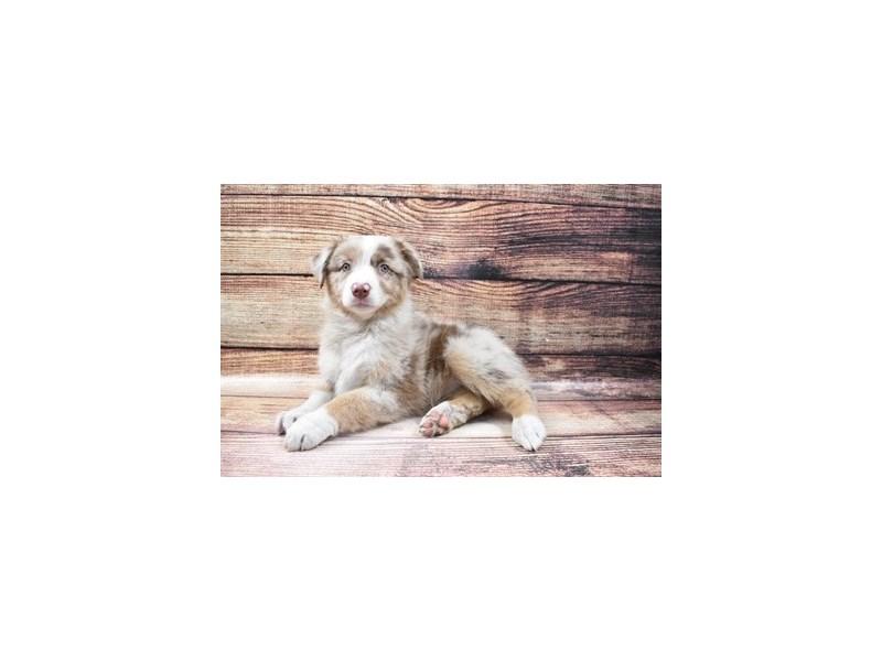 Australian Shepherd-Female-Red Merle-3056682-PetCenter Old Bridge Puppies For Sale