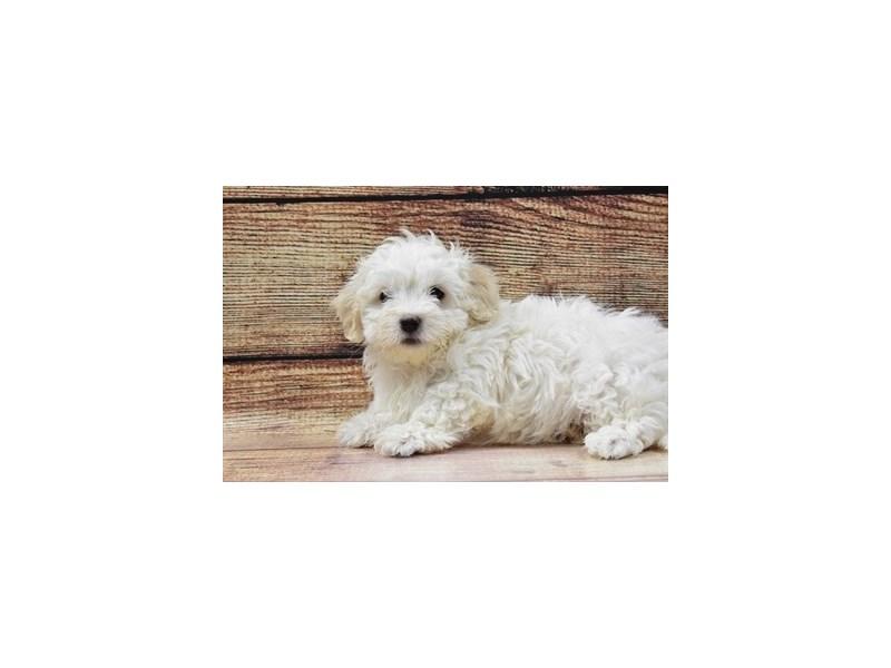 Coton De Tulear-Male-White-3056700-PetCenter Old Bridge Puppies For Sale