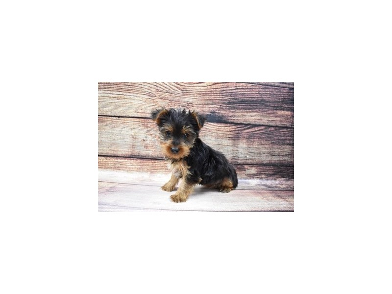 Yorkshire Terrier-DOG-Female-Black and Tan-3056726-PetCenter Old Bridge Puppies For Sale