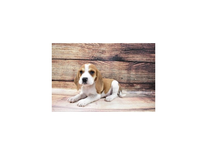 Beagle-Male-Red and White-3056782-PetCenter Old Bridge Puppies For Sale