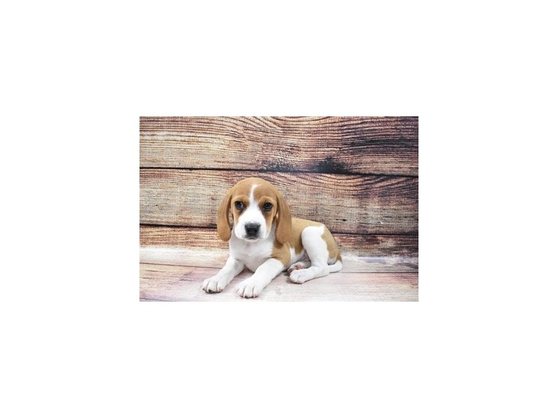 Beagle-DOG-Female-Red and White-3056785-PetCenter Old Bridge Puppies For Sale
