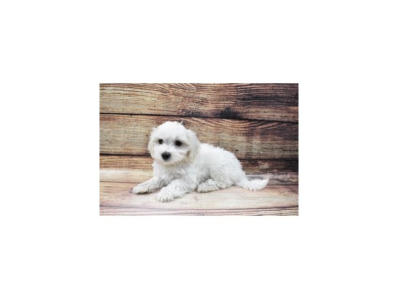 Maltese-Male-White-3056802-PetCenter Old Bridge Puppies For Sale