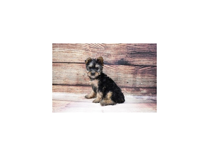Yorkshire Terrier-DOG-Female-Black and Tan-3056811-PetCenter Old Bridge Puppies For Sale