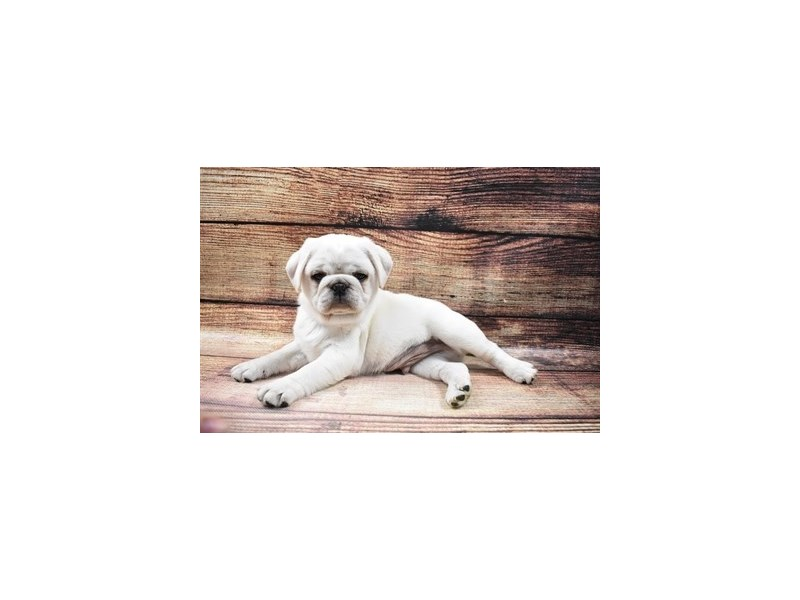 Pug-Male-Silver Fawn-2989734-PetCenter Old Bridge Puppies For Sale