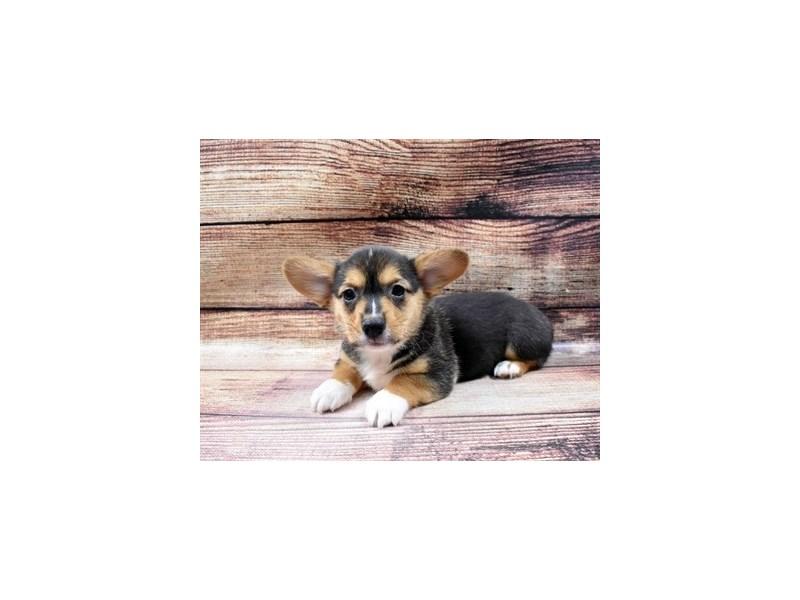 Pembroke Welsh Corgi-Female-Black and Tan-2998287-PetCenter Old Bridge Puppies For Sale