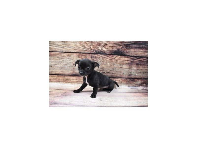Chihuahua-Female-Black-3026783-PetCenter Old Bridge Puppies For Sale