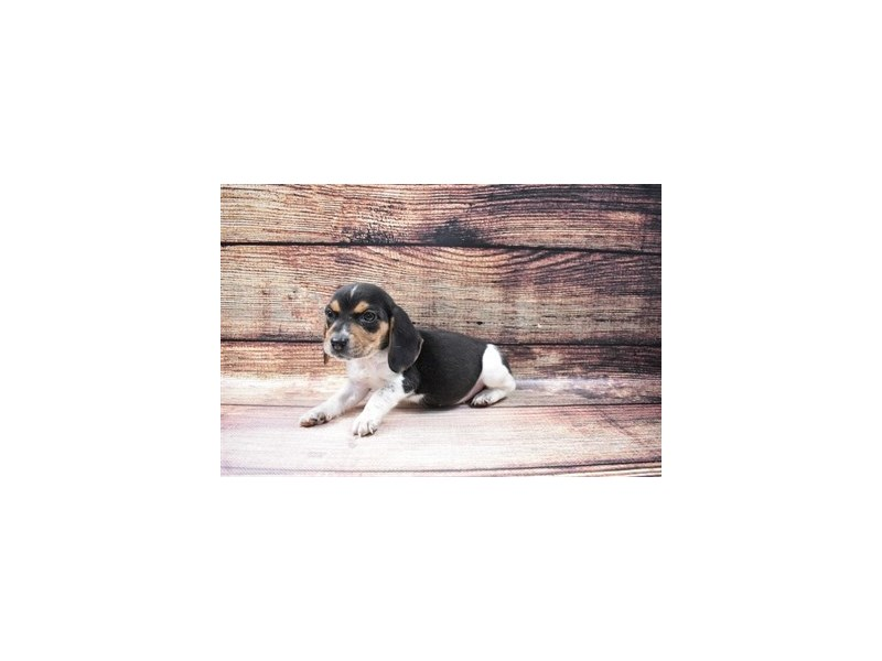 Beagle-Female-Black White and Tan-3036042-PetCenter Old Bridge Puppies For Sale
