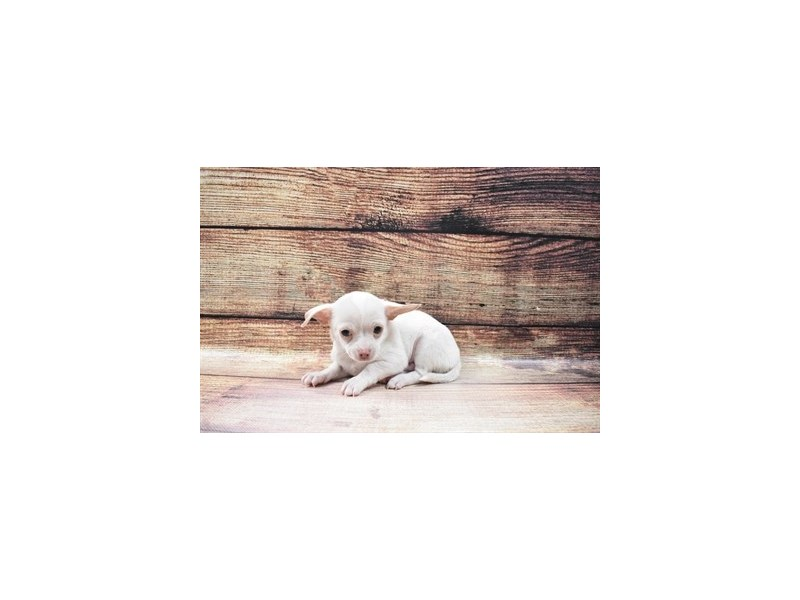 Chihuahua-Male-Cream-3036081-PetCenter Old Bridge Puppies For Sale