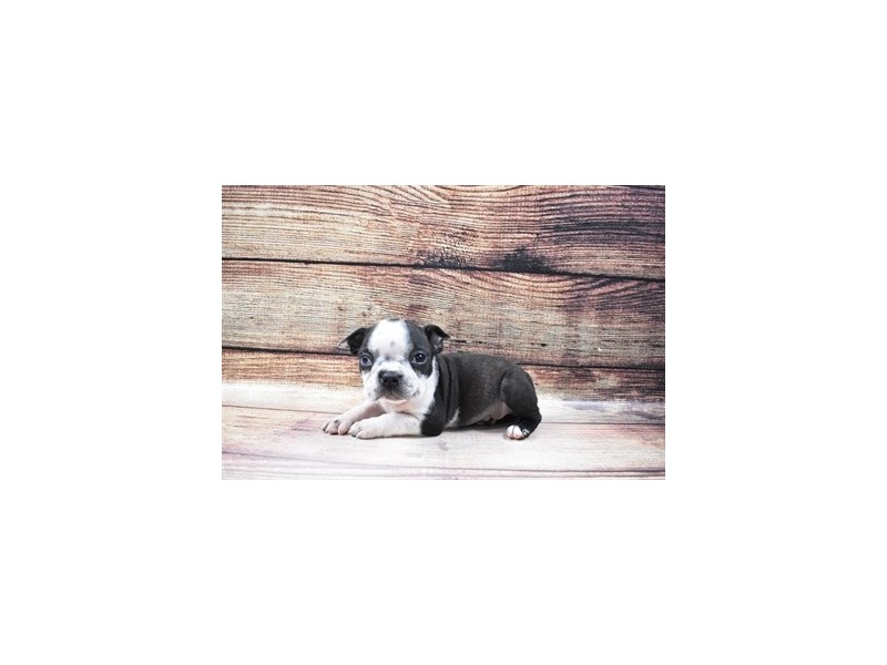 Boston Terrier-Male-Black Brindle and White-3036146-PetCenter Old Bridge Puppies For Sale