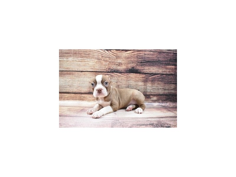 Boston Terrier-Male-Seal and White-3045740-PetCenter Old Bridge Puppies For Sale
