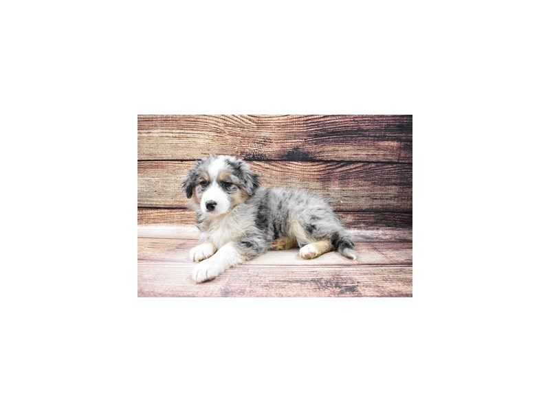 Australian Shepherd Mix-DOG-Female-Blue and White-3045761-PetCenter Old Bridge Puppies For Sale