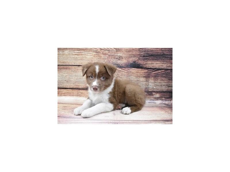 Australian Shepherd-Male-Red-3056674-PetCenter Old Bridge Puppies For Sale