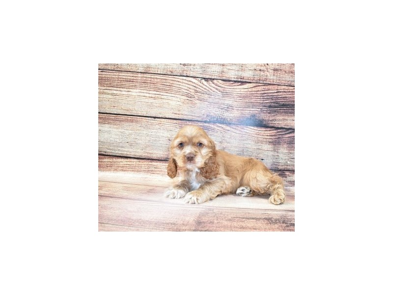 Cocker Spaniel-Male-Red-3056751-PetCenter Old Bridge Puppies For Sale