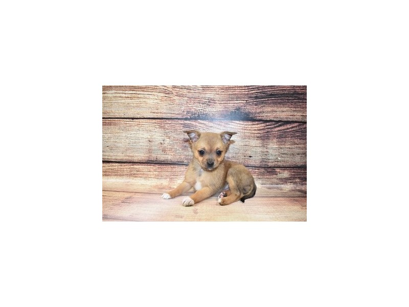 Pomchi-Female-Fawn Sable-3067678-PetCenter Old Bridge Puppies For Sale