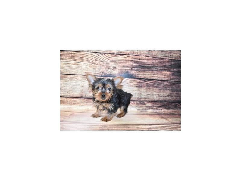 Yorkshire Terrier-DOG-Female-Black and Gold-3067689-PetCenter Old Bridge Puppies For Sale