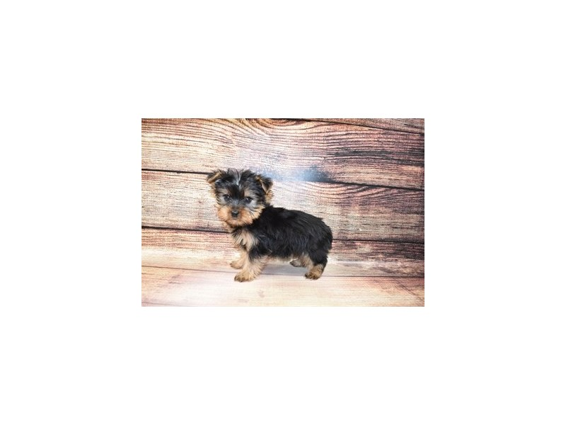 Yorkshire Terrier-DOG-Male-Black and Tan-3067692-PetCenter Old Bridge Puppies For Sale