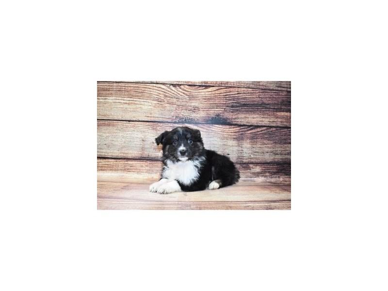 Miniature Australian Shepherd-Female-Black White and Brown-3067714-PetCenter Old Bridge Puppies For Sale
