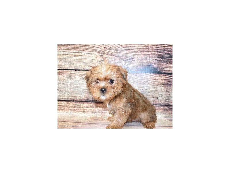 Griffonshire-DOG-Male-Gold-3067753-PetCenter Old Bridge Puppies For Sale