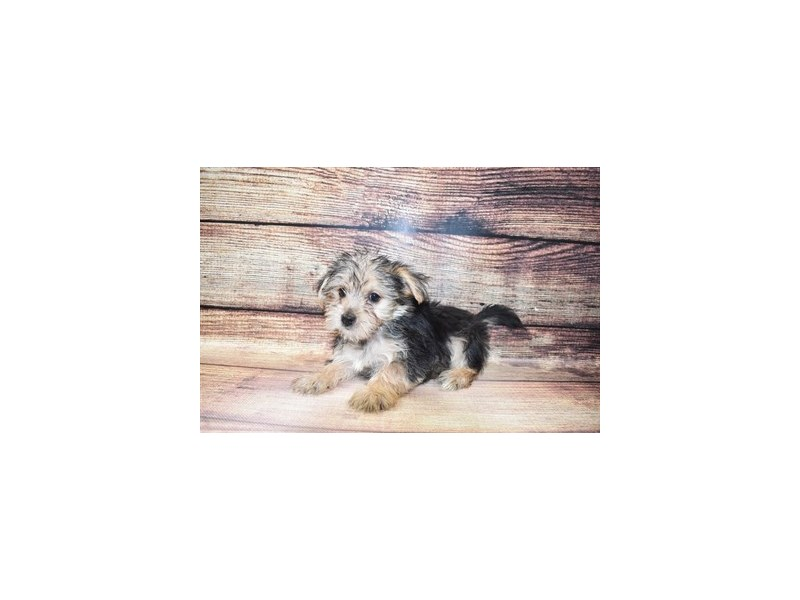 Morkie-DOG-Male-Black and Tan-3067766-PetCenter Old Bridge Puppies For Sale