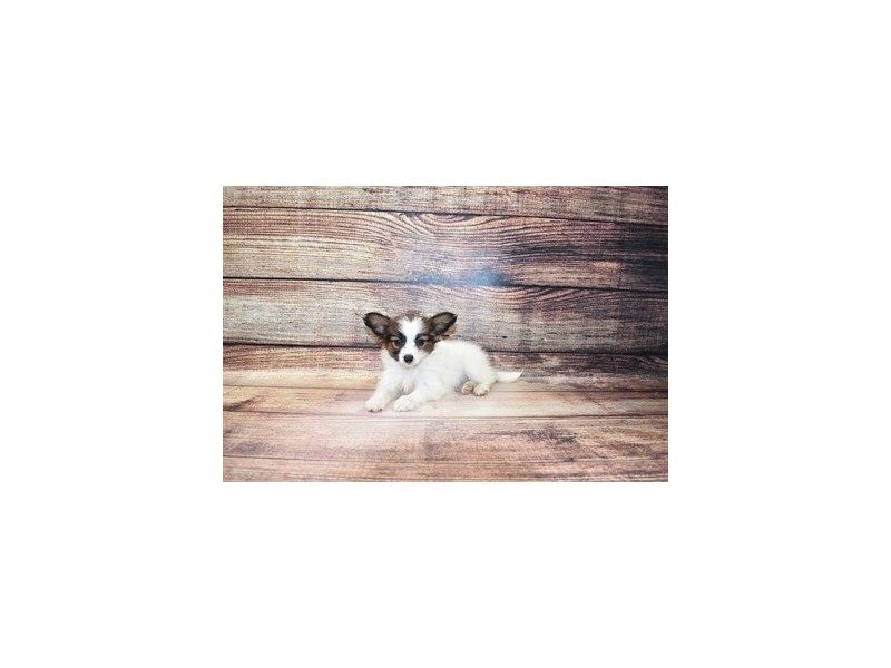 Papillon-Female-White and Red-3067776-PetCenter Old Bridge Puppies For Sale