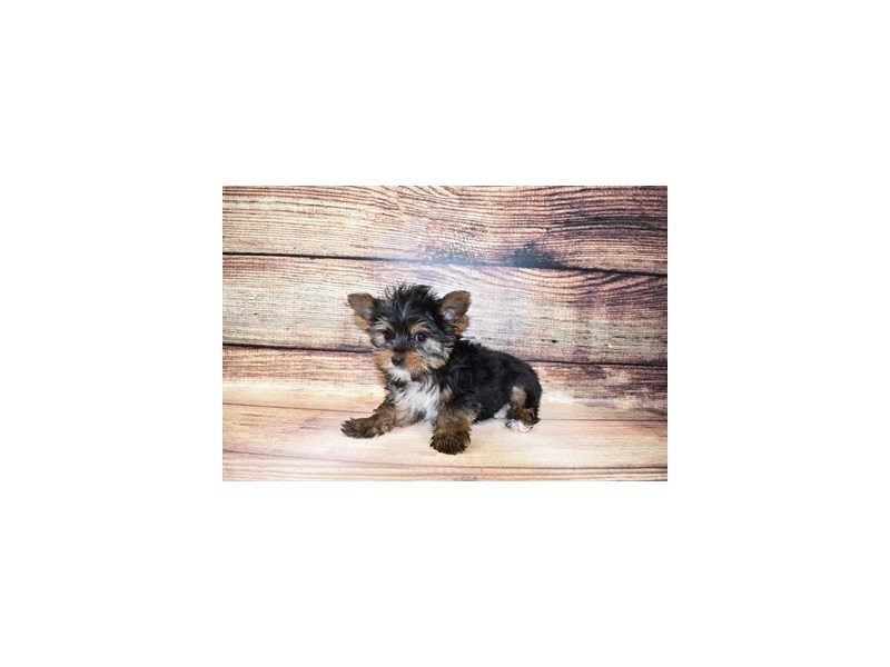 Yorkshire Terrier-DOG-Female-Black and Tan-3067805-PetCenter Old Bridge Puppies For Sale