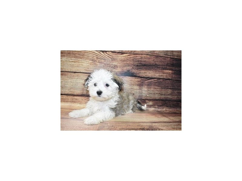 Havanese-Male-Silver Sable-3078237-PetCenter Old Bridge Puppies For Sale