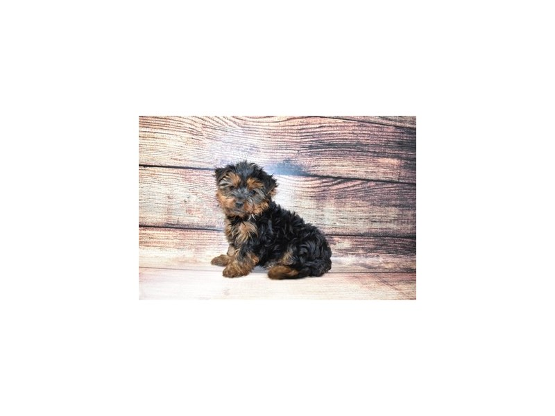 Yorkshire Terrier-DOG-Male-Black and Tan-3078281-PetCenter Old Bridge Puppies For Sale