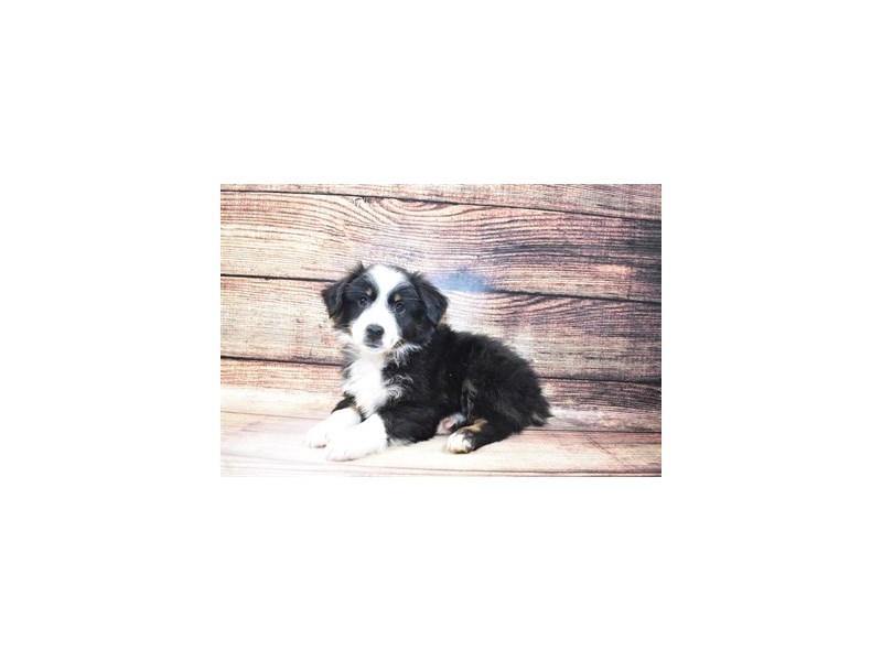 Miniature Australian Shepherd-DOG-Male-Black White and Brown-3078303-PetCenter Old Bridge Puppies For Sale