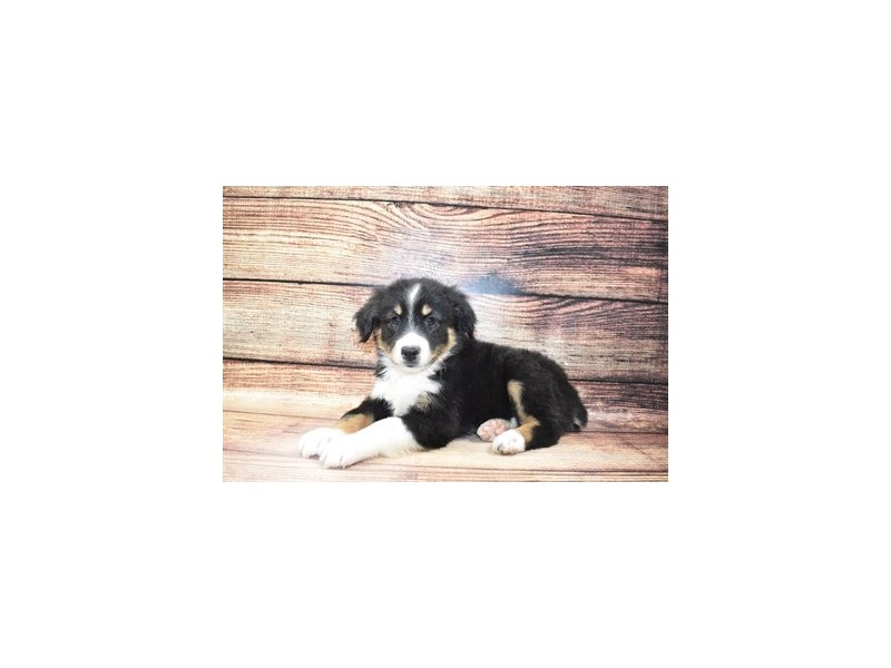 Miniature Australian Shepherd-Female-Black White and Brown-3078308-PetCenter Old Bridge Puppies For Sale
