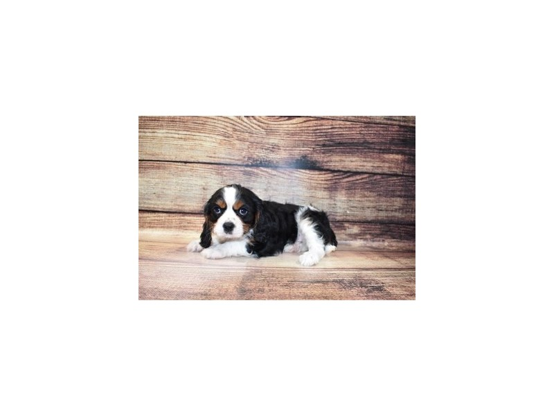 Cavalier King Charles Spaniel-Male-Black and White-3078334-PetCenter Old Bridge Puppies For Sale