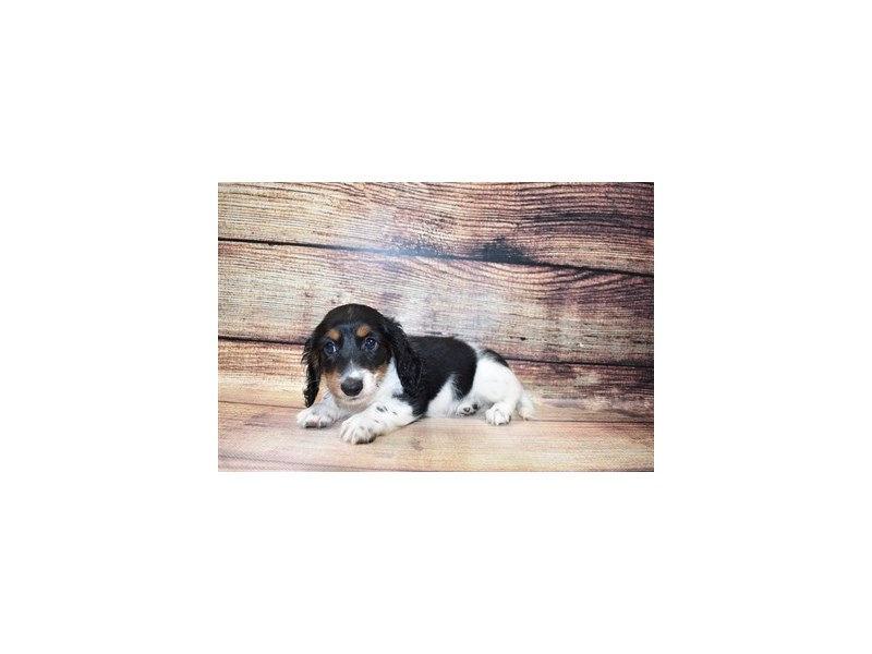 Dachshund-DOG-Male-Black and Tan-3078339-PetCenter Old Bridge Puppies For Sale