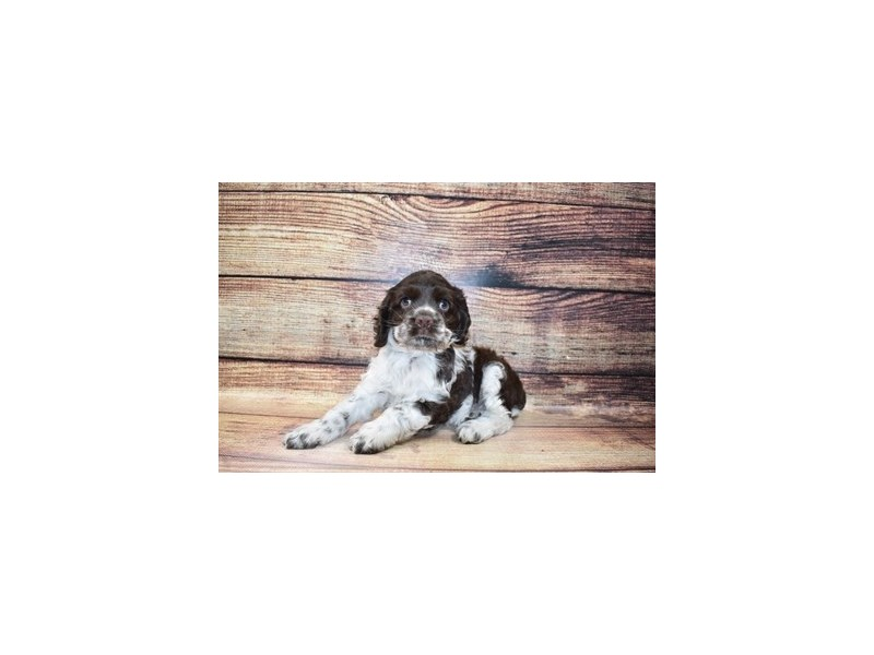 Cocker Spaniel-DOG-Male-Brown and White-3078408-PetCenter Old Bridge Puppies For Sale