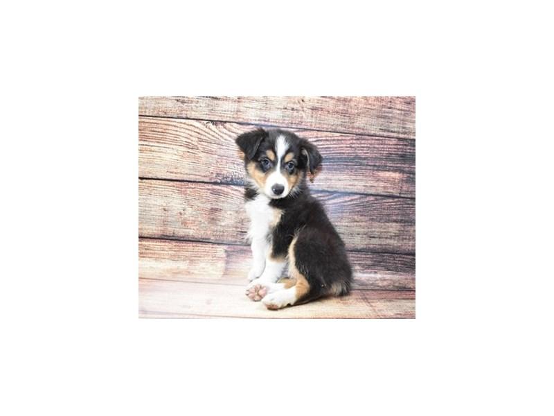 Australian Shepherd-Female-Black and White-3078412-PetCenter Old Bridge Puppies For Sale