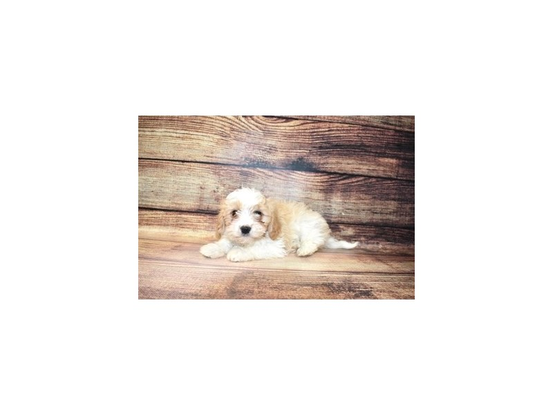 Cavapoo-Male-Red and White-3078419-PetCenter Old Bridge Puppies For Sale