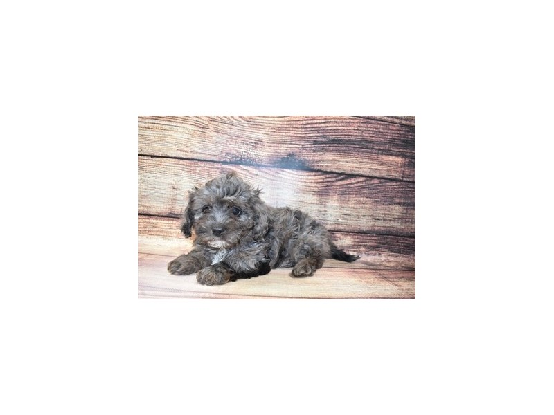 Cavapoo-DOG-Male-Blue-3078421-PetCenter Old Bridge Puppies For Sale