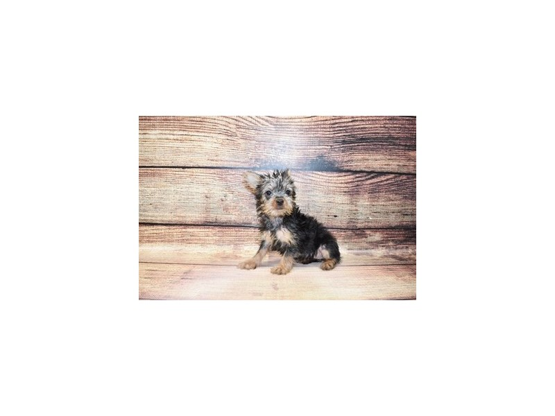 Silky Terrier-Female-Silver Black and Tan-3078457-PetCenter Old Bridge Puppies For Sale