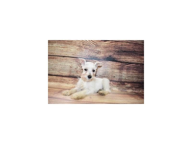 Miniature Schnauzer-DOG-Female-White-3078475-PetCenter Old Bridge Puppies For Sale