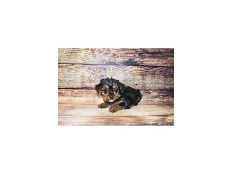 Yorkshire Terrier-DOG-Male-Black and Tan-3089221-PetCenter Old Bridge Puppies For Sale