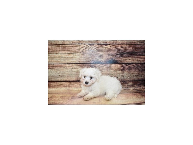Havanese-Male-White-3089288-PetCenter Old Bridge Puppies For Sale